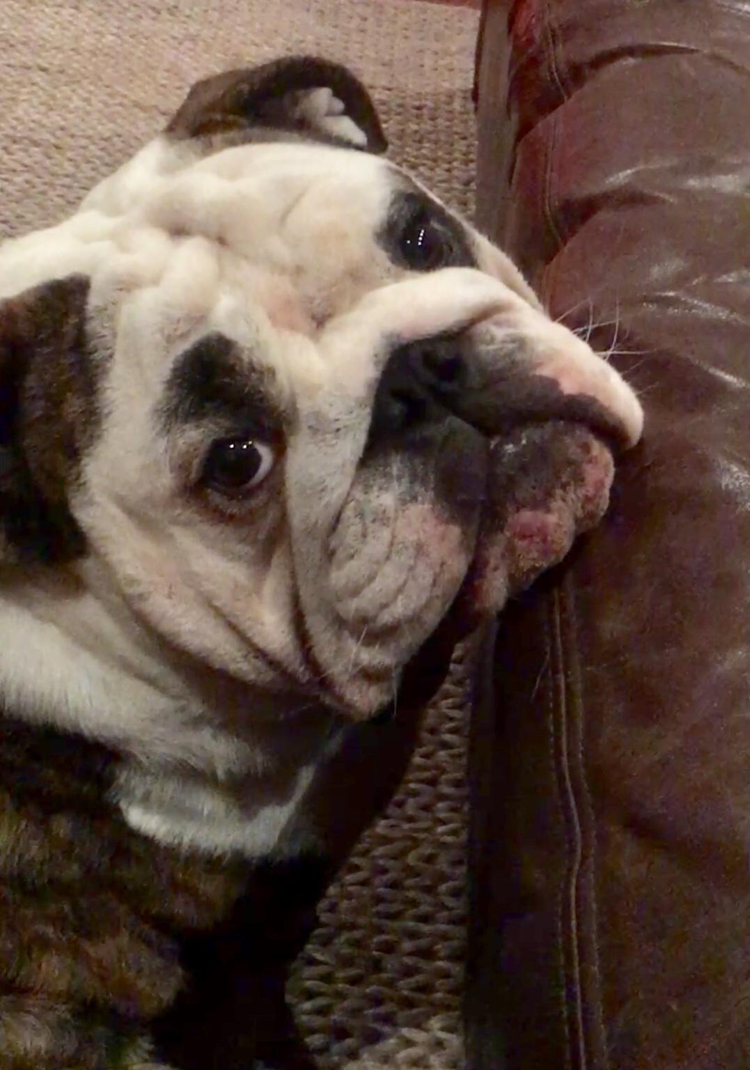 Walter, the English Bulldogpuppy